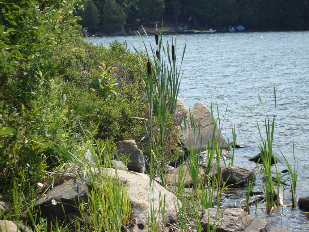 Rocks and cattails on the shore